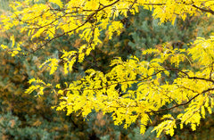 Gleditsia triacanthos (Honey Locust) seeds - RP Seeds