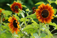 Helianthus Earthwalker (Sunflower) seeds - RP Seeds