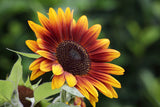 Helianthus Harlequin Mixed (Sunflower) seeds - RP Seeds
