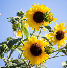 Helianthus Moonwalker (Sunflower) seeds - RP Seeds