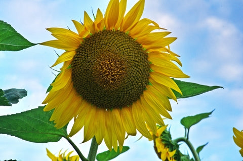 RP Seeds Helianthus Tall Single - Sunflower