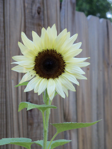 helianthus vanilla ice  sunflower