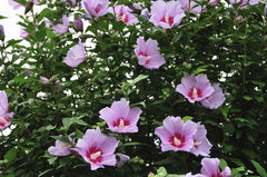 Hibiscus syriascus Rose of Sharon