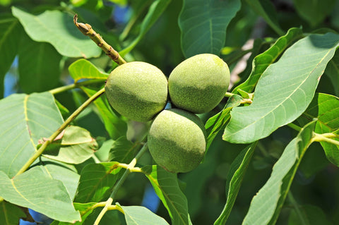 Juglans regia (English Walnut) seeds - RP Seeds