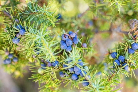 Juniperus communis - Common Juniper