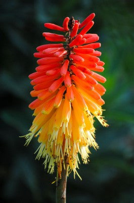 Kniphofia Trimota Hybrids - Red Hot Poker