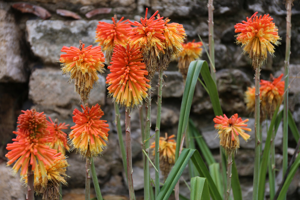 Kniphofia rooperi (Red Hot Poker) seeds