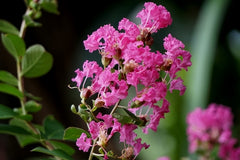 Lagerstroemia indica (Crape Myrtle) seeds - RP Seeds