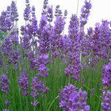 Lavandula angustifolia [syn. spica] (English Lavender) seeds - RP Seeds