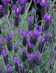 Lavandula stoechas (French Lavender) seeds - RP Seeds