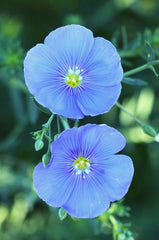 Linum perenne (Blue Flax) seeds - RP Seeds