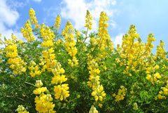 Lupinus arboreus Yellow (Tree Lupin) seeds - RP Seeds