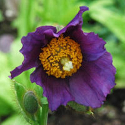 Meconopsis baileyi Hensol Violet - Himalayan Poppy