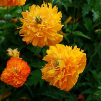 Meconopsis cambrica fl pl aurantiaca (Welsh Poppy) seeds - RP Seeds