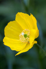 Meconopsis cambrica (Welsh Poppy) seeds - RP Seeds