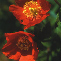 Meconopsis cambrica Frances Perry (Welsh Poppy) seeds - RP Seeds