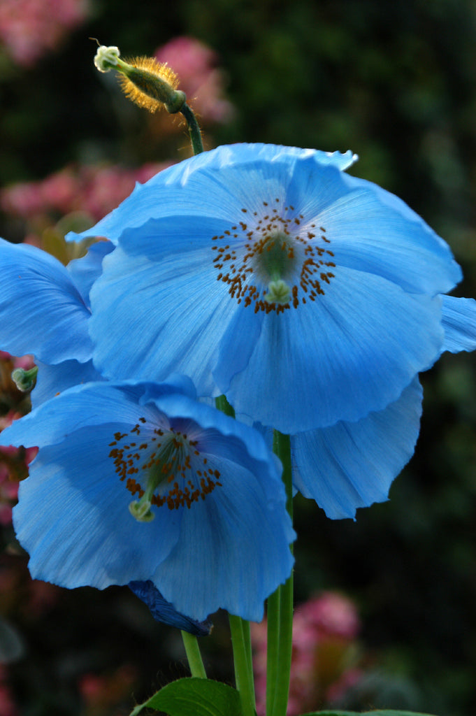 Meconopsis Lingholm - Himalayan Poppy