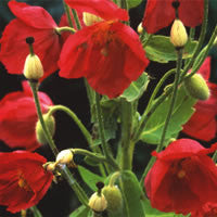 Meconopsis napaulensis (Satin Poppy) seeds - RP Seeds