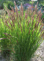 Melica transsilvanica Red Spire seeds - RP Seeds
