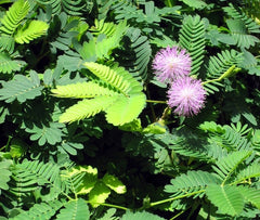 Mimosa pudica (Sensitive Plant) seeds