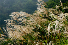 Miscanthus sinensis Hybrids (Chinese Silver Grass) seeds - RP Seeds