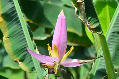 Musa ornata (Flowering Banana) seeds - RP Seeds