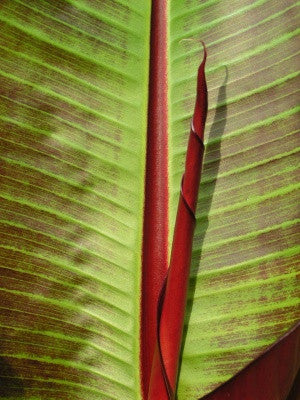 Musa sikkimensis Red Tiger (Banana) seeds - RP Seeds