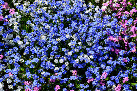 RP Seeds Myosotis Victoria Mixed - Forget Me Not seeds
