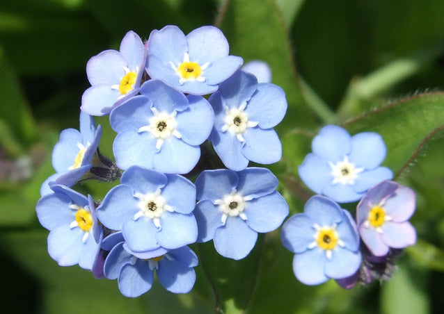 Myosotis Blue Ball (Forget-Me-Not) seeds - RP Seeds