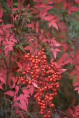 Nandina domestica - Heavenly / Sacred Bamboo