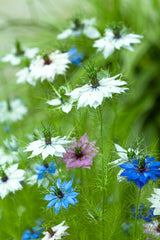 Nigella damascena Persian Jewels Mix (Love-in-a-mist) seeds - RP Seeds
