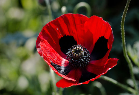RP Seeds Papaver commutatum - Ladybird Poppy seeds