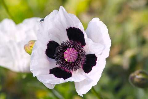 Papaver orientale Royal Wedding (Oriental Poppy) seeds - RP Seeds