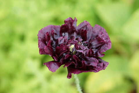 Papaver paeoniflorum Black Peony (Peony Poppy) seeds - RP Seeds
