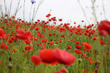 Papaver rhoeas (Field Poppy) seeds - RP Seeds