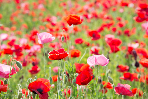 RP Seeds Papaver rhoeas Shirley Single Mix seeds