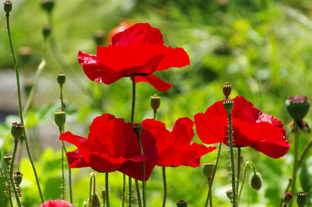 RP Seeds Papaver rhoeas - Field Poppy seeds