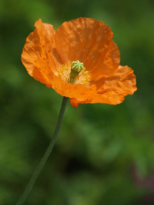 Papaver rupifragum - Spanish Poppy