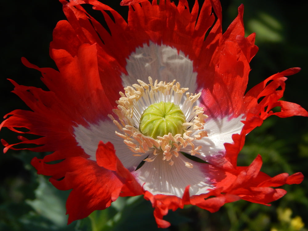 Papaver somniferum Victoria Cross (Poppy) seeds