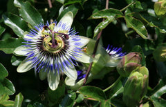 Passiflora caerulea (Blue Passion Flower) seeds - RP Seeds