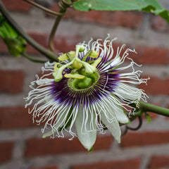 Passiflora edulis f edulis (Purple Passion Flower) seeds - RP Seeds