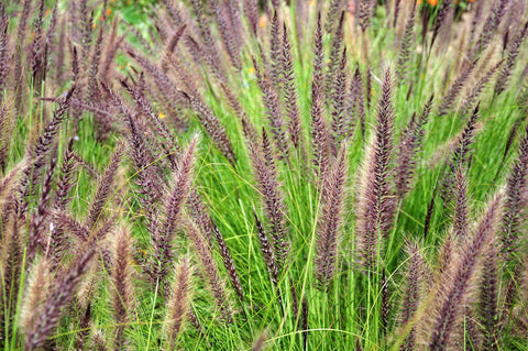 pennisetum alopecuroides  chinese fountain grass