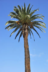 Phoenix canariensis (Canary Island Date Palm) seeds - RP Seeds