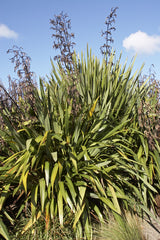 Phormium tenax (New Zealand Flax) seeds - RP Seeds