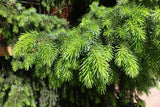 Picea abies (Norway Spruce) seeds - RP Seeds