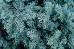 Picea pungens glauca (Blue Colorado Spruce) seeds - RP Seeds
