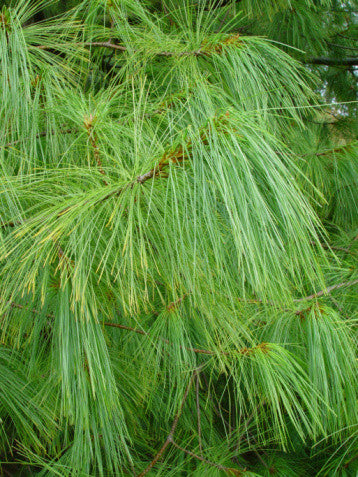 Pinus patula - Mexican Weeping Pine