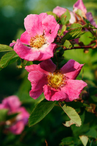 Rosa canina (Dog/Wild Rose) seeds - RP Seeds