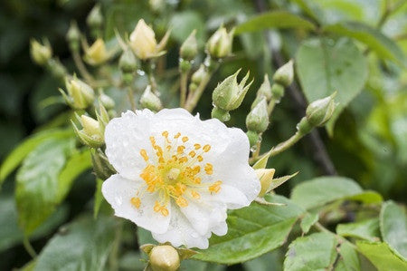 Rosa multiflora (Japanese Rose) seeds - RP Seeds