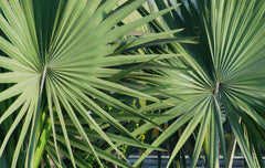 Sabal minor (Dwarf Palmetto Palm) seeds - RP Seeds